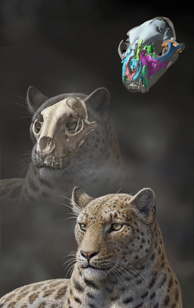 Life reconstruction of Panthera blytheae based on skull CT data; illustrated by Mauricio Antón.  Mauricio Antón