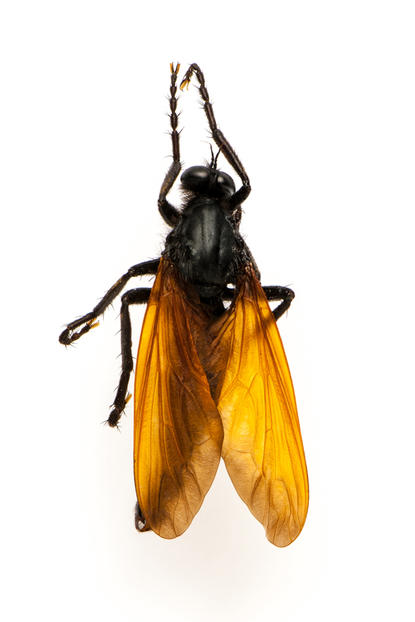Robber flies like this one mimic the dreaded tarantula hawk wasp, deflecting predators.  © AMNH/D. Finnin