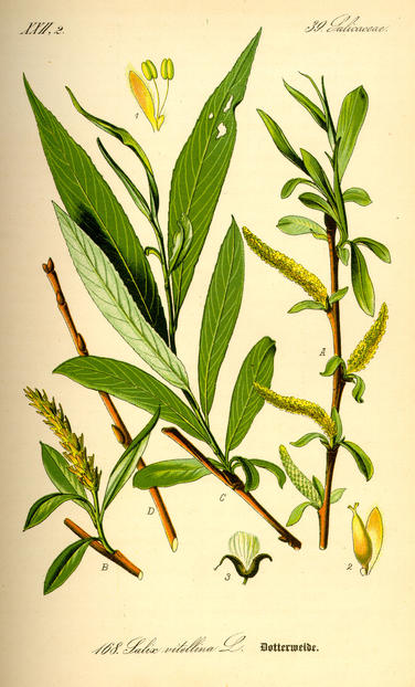 The bark of Salix alba (white willow) and other willow species is sometimes used as a pain reliever. 1885, Flora von Deutschland/via biolib.de