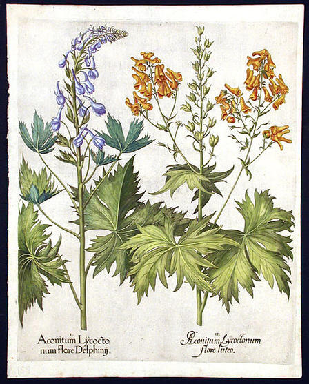 "In their spell, the three witches in Macbeth refer to ""tooth of wolf,"" a reference to monkshood (Aconitum spp.). All parts of this lovely flowering plant, seen in a print from 1640, are toxic.  Via Wikimedia Commons"