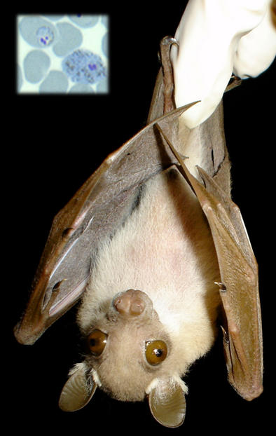 Peter's dwarf epauletted fruit bat (Susan Perkins)
