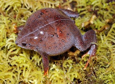 This frog, from the genus Barygenys, was among the 18 amphibian species the team has found at high elevation. ©AMNH/C.Raxworthy