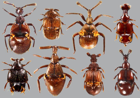 This photo shows several of the 370 described species of modern Clavigeritaebeetles.   © AMNH/J. Parker