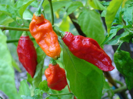 Ghost peppers are one of the most spiciest peppers in the world.  Wikimedia via Thaumatergist