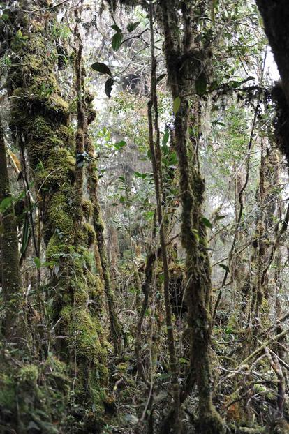 The forests at high elevation are full of twisted trees covered in thick moss. © AMNH/C. Raxworthy