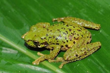 This tree frog was among the frogs herpetologist Chris Raxworthy found at high elevation. © AMNH/C. Raxworthy