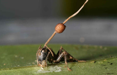 Zombie ants are ants infected by a toxin that assumes control of the ant's brain.  Image courtesy of D. Hughes.