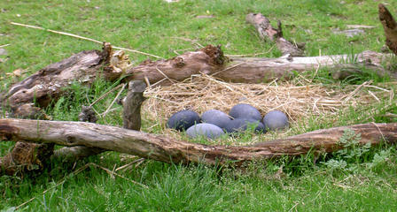 Straw bird nest containing six large eggs, built on the ground between fallen tree branches.