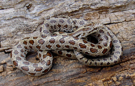 Yellow-bellied kingsnake lying on a log.