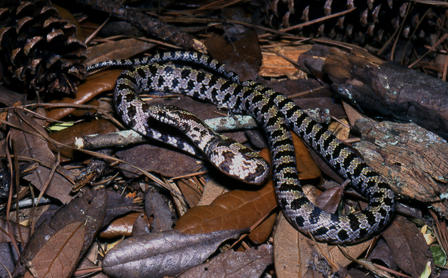 Yellow-bellied kingsnake lying on a pile of dead leaves.