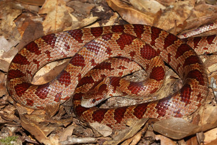 Yellow-bellied kingsnake lying on a pile of fallen leaves.