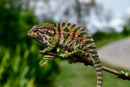 A beautiful Furcifer lateralis chameleon Courtesy of Antonio Florio
