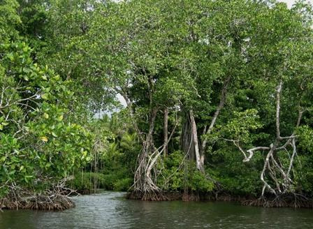 Mangroves at the edge of a lagoon, Solomon Islands