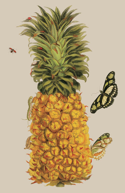 Natural Histories Maria Sibyll Merian Pineapple