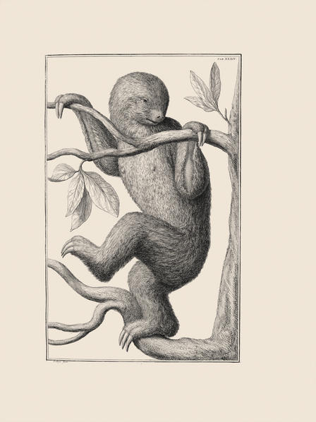 This two-toed sloth is depicted climbing upright in a four-volume work compiled by Albert Seba (1665-1763.) Having never seen a sloth in the wild, Seba and his team of artists had no idea that sloths do not generally stand in this way, but rather hang upside-down.