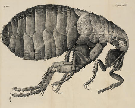 Black-and-white illustration of a flea from Robert Hooke's Micrographia (1667).