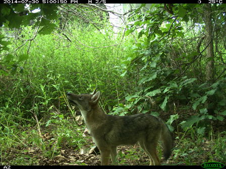 A Bronx coyote investigates its surroundings on a warm afternoon in July 2014. These images were taken via camera trap, a hidden camera that only takes a photo when motion triggered.  ©Gotham Coyote Project