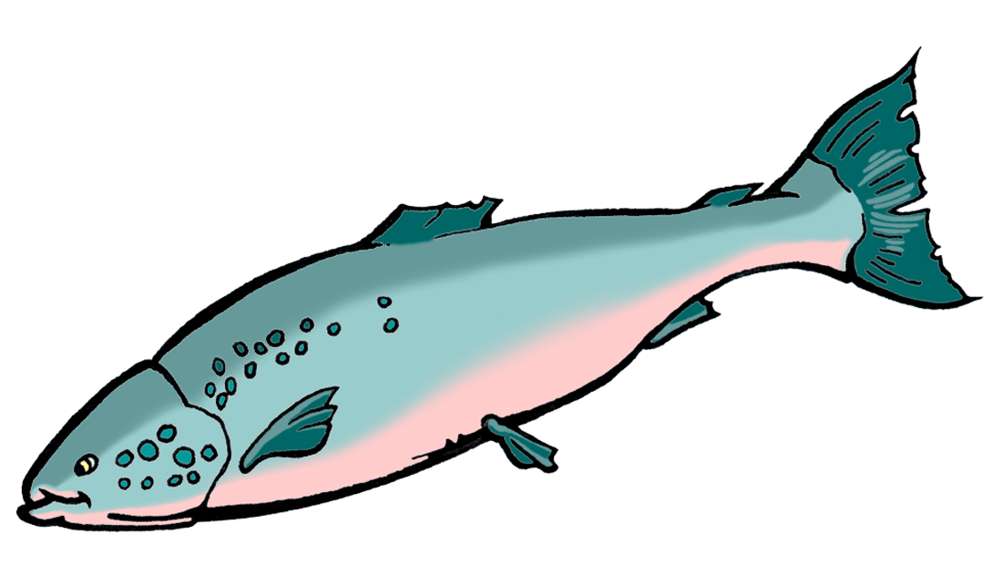 a drawing of a salmon fish