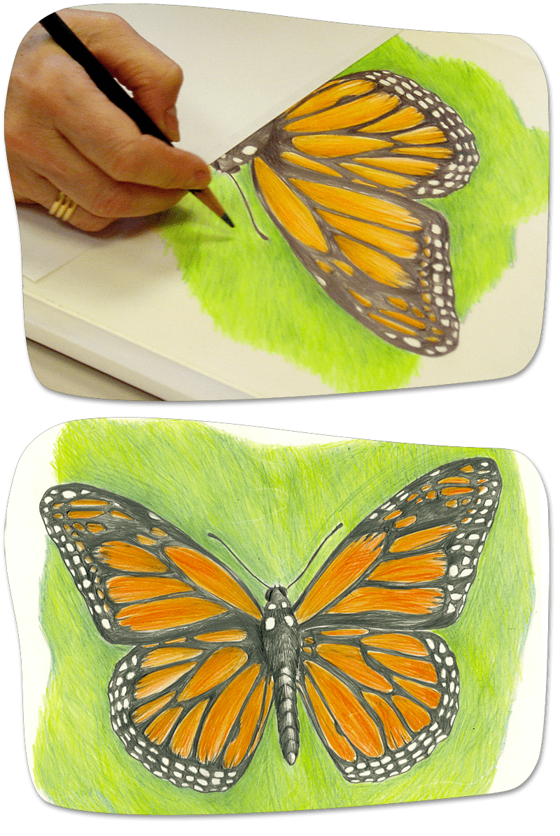Draw A Monarch Amnh