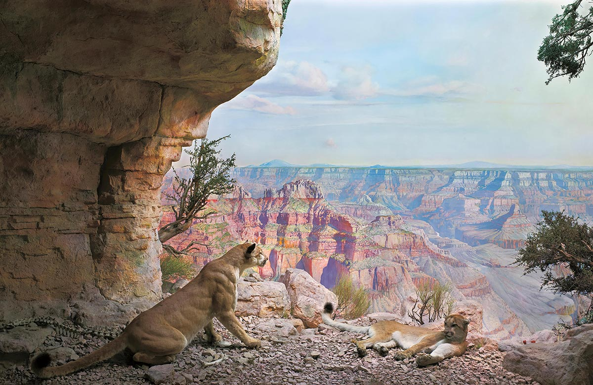 Diorama scene of two wildcats resting near a cave entrance in the Grand Canyon.