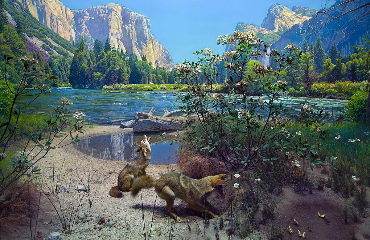 Diorama scene of two coyotes near a lake in Yosemite Valley.