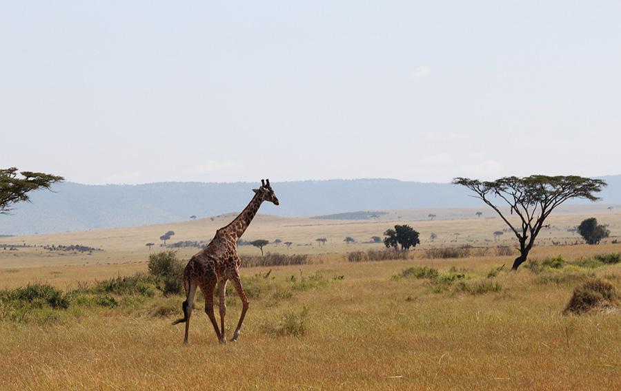 How can we save the savanna ecosystem? | AMNH