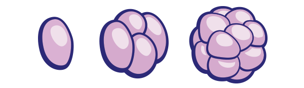 embryo cells dividing