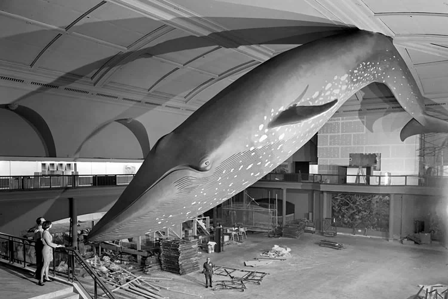 Early photo of whale in what would be the Hall of Ocean Life