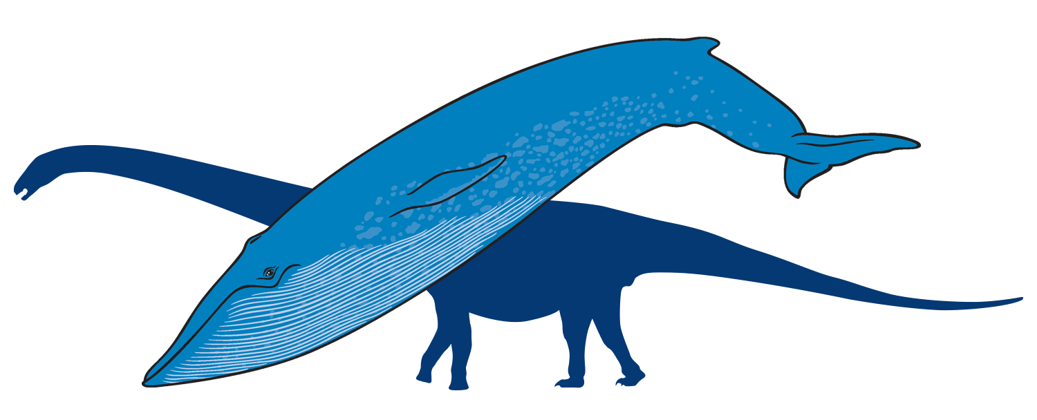 Blue whale with outline of titanosaur in background