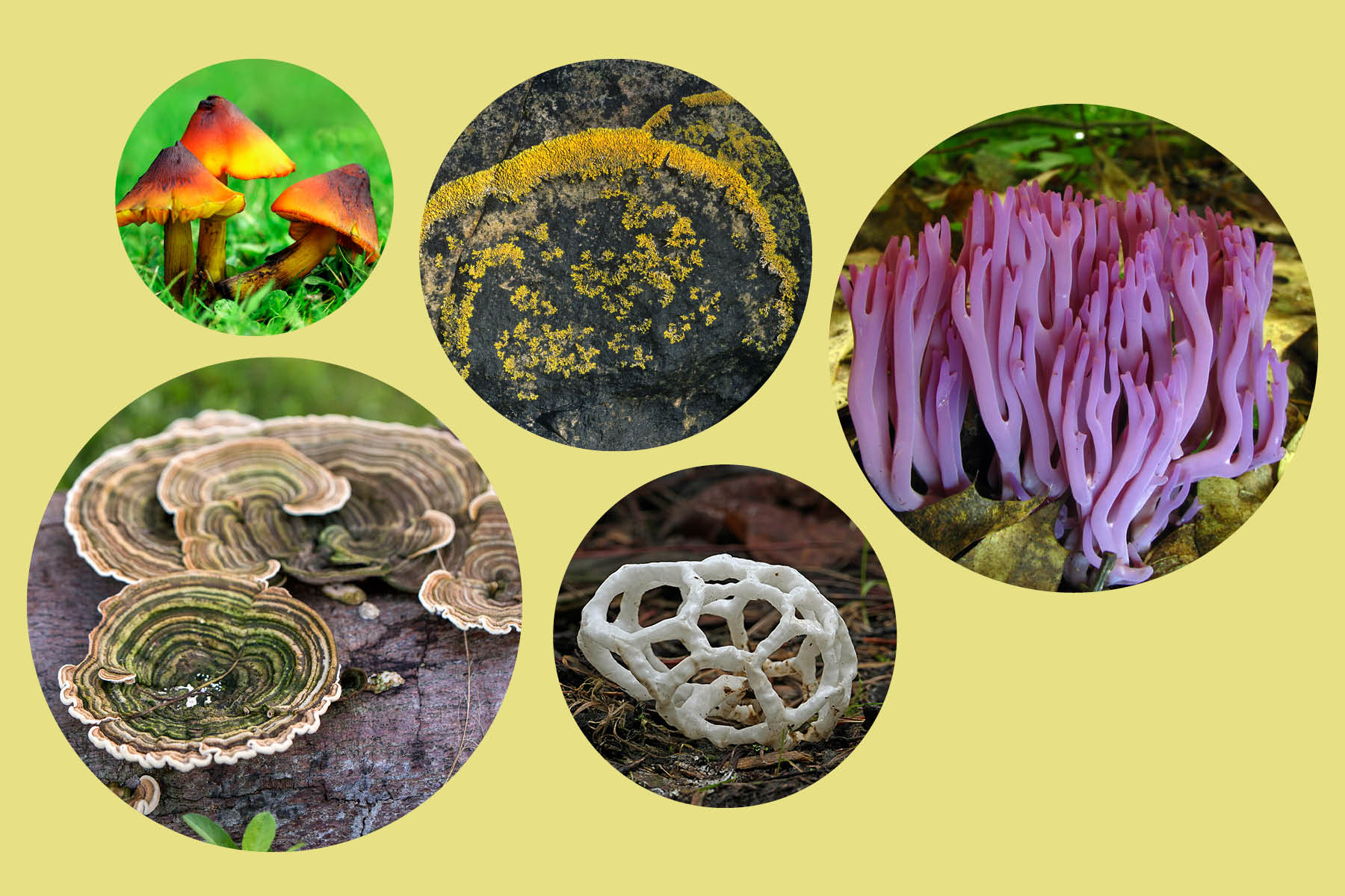 Five different fungi, including mushrooms, lichen and basket fungus.