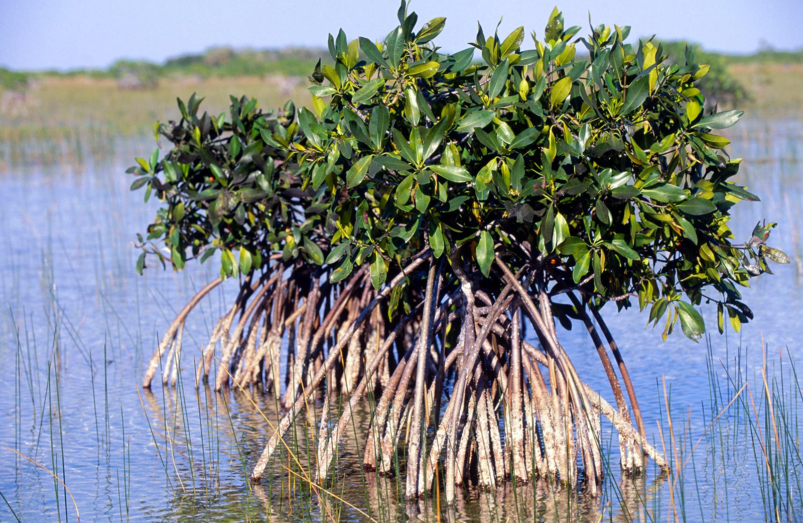 Mangrove tree with many roots showing above water
