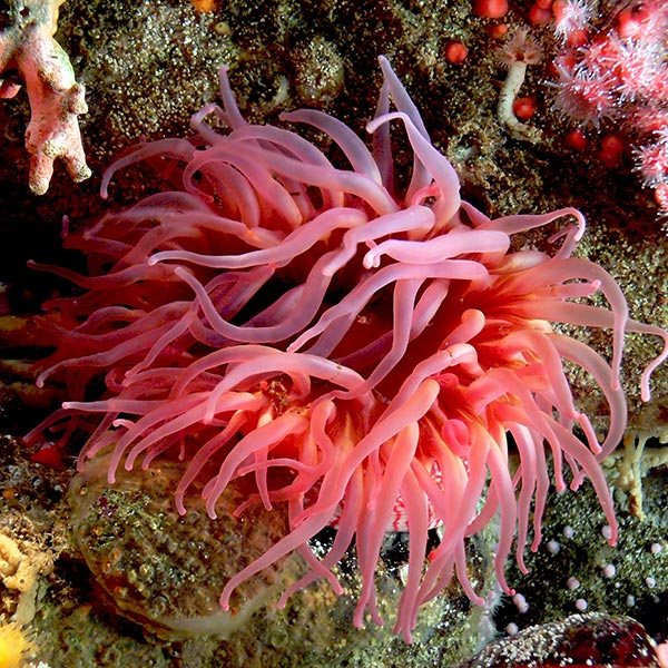 brightly-colored sea anemone, displaying numerous numerous soft tentacles.