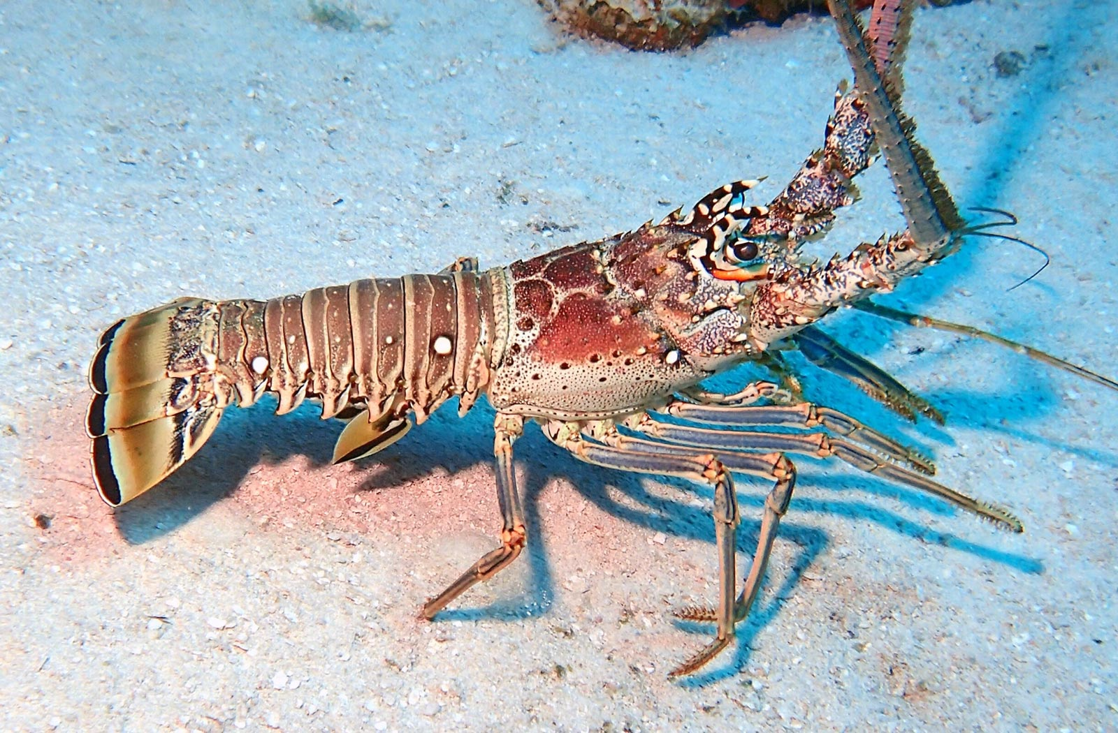 Spiny lobster crawling on sandy sea floor