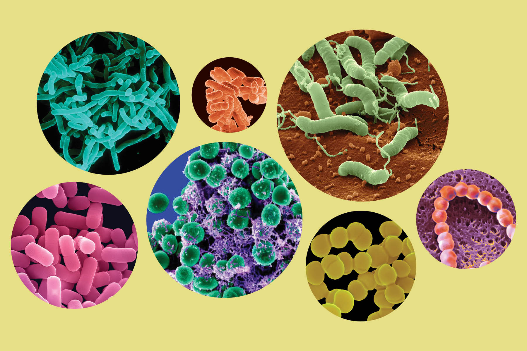 7 circles containing various examples of true bacteria: some are round, some pill-shaped, some long, and some with tails.