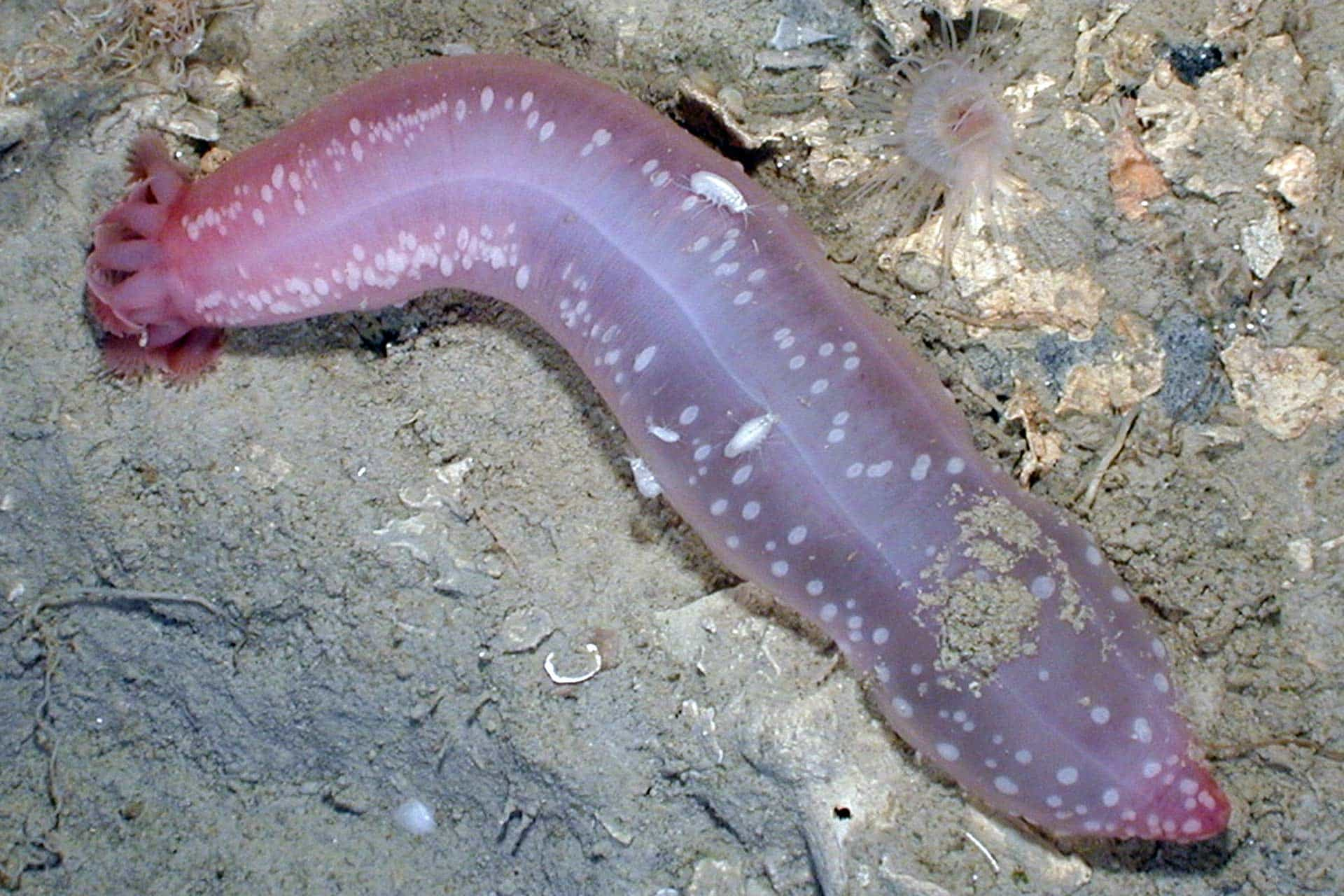 pink worm-like sea cucumber on sandy ocean floor