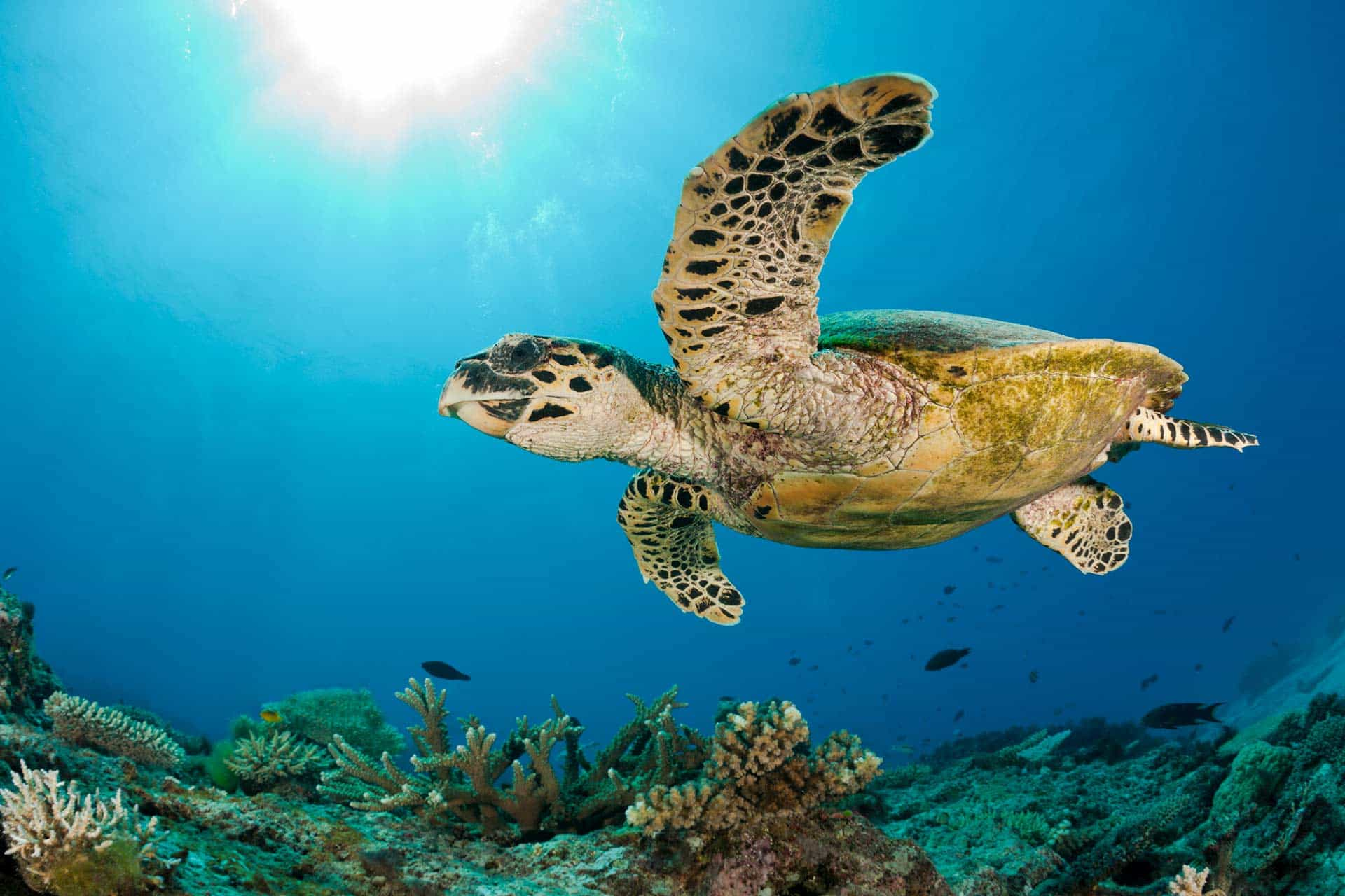 hawksbill sea turtle swimming above a coral reef