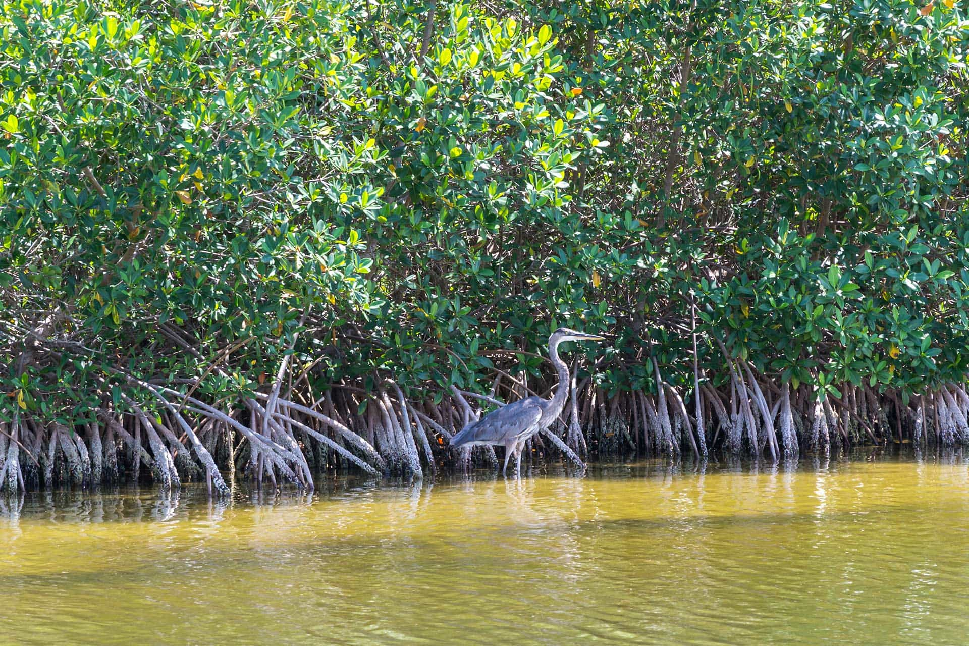 bird wading among mangrove trees