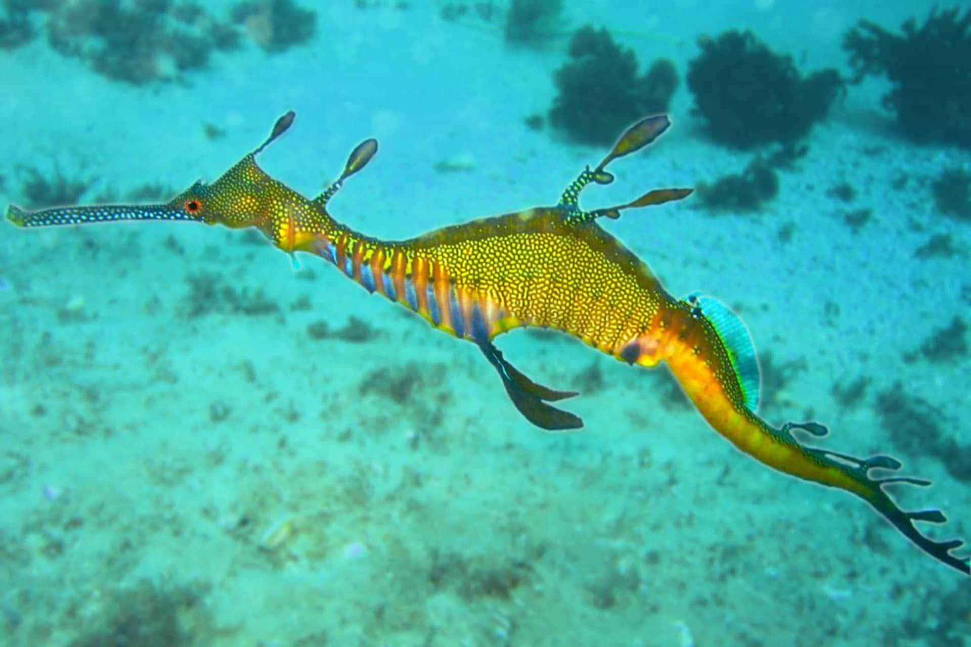 swimming seadragon