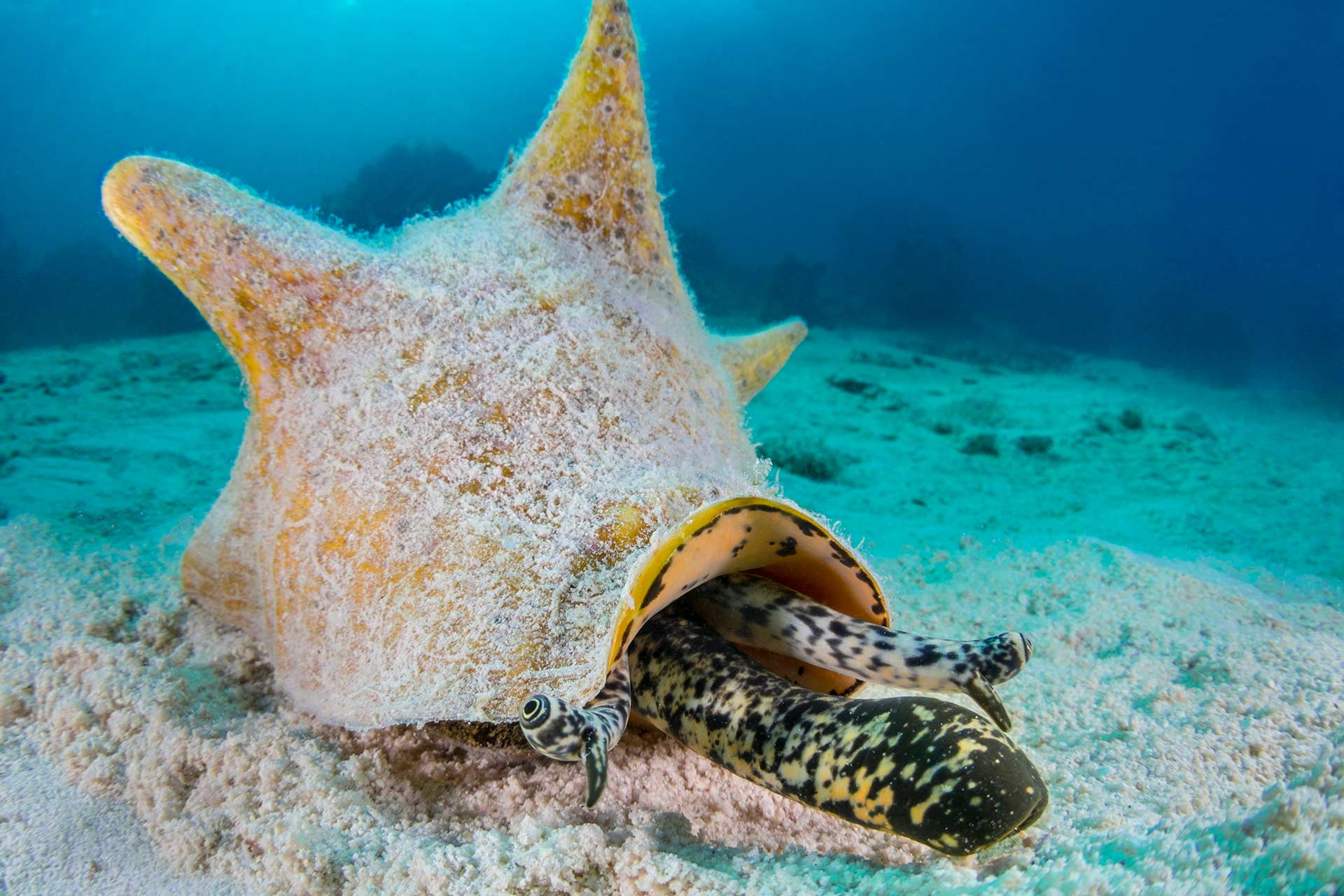 queen conch underwater, moving across sand