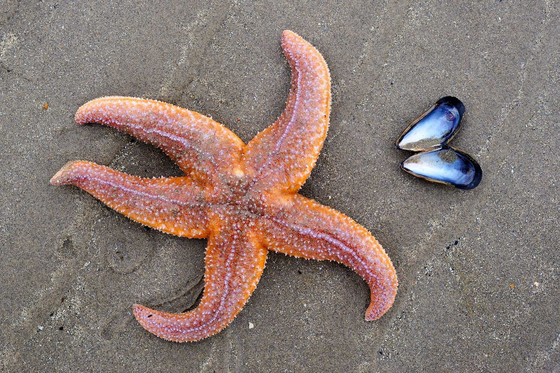 sea star on a beach, with empty mussel shell
