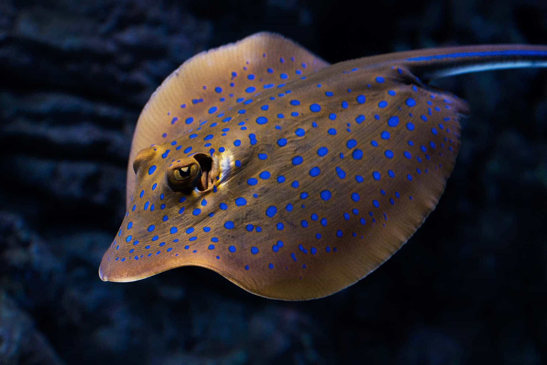 swimming eagle ray with fluorescent blue spots