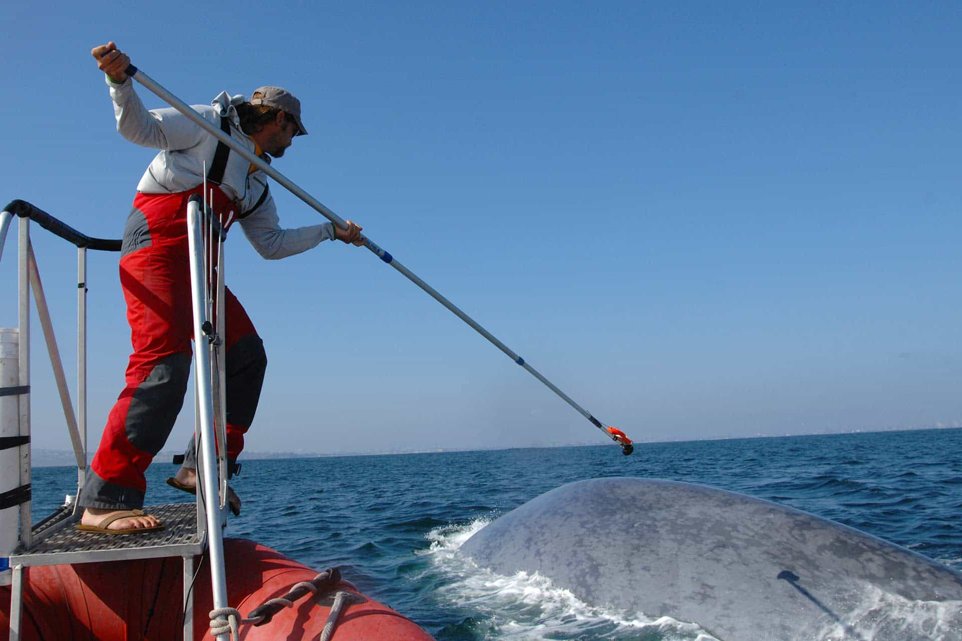 scientist on a boat using a long pole to attach a tracking tag to a whale in the water