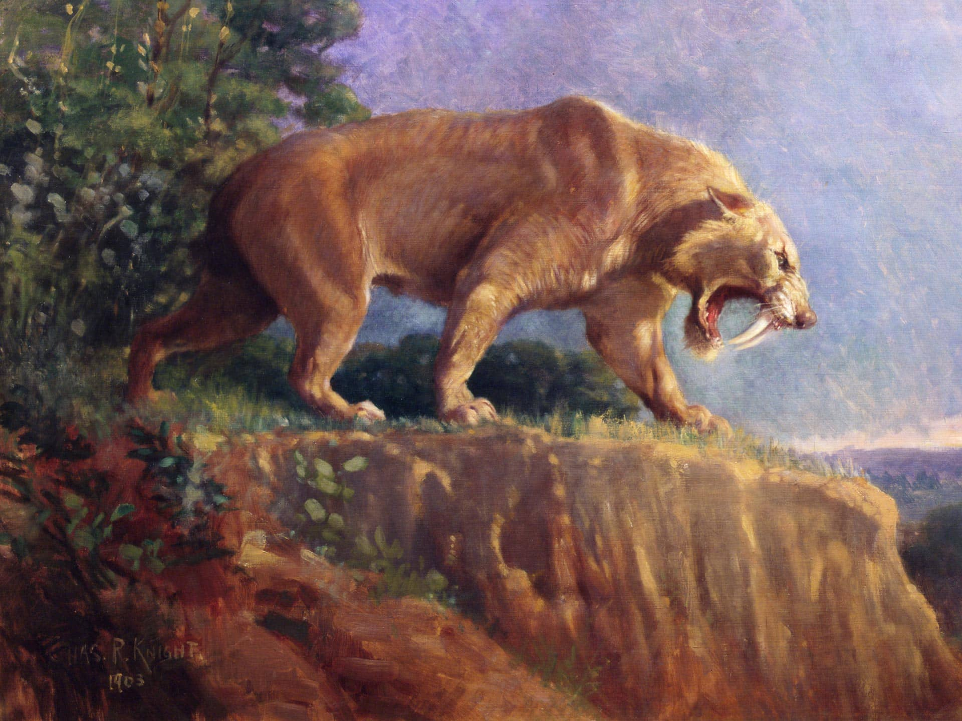 extinct saber-tooth cat (Smilodon)