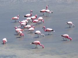 Andean flamingos foraging for food