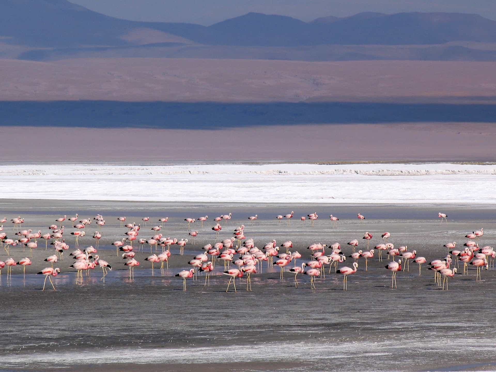 Flamingos in the shallow, salty lakes of the Andean Altiplano