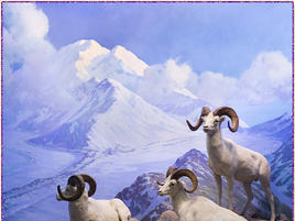 Dall Sheep AMNH diorama