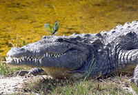 A crocodile sunning itself