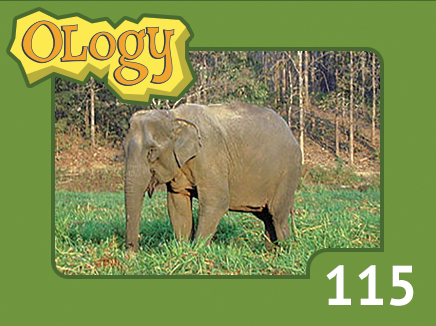 olc_115_asian_elephant_listing
