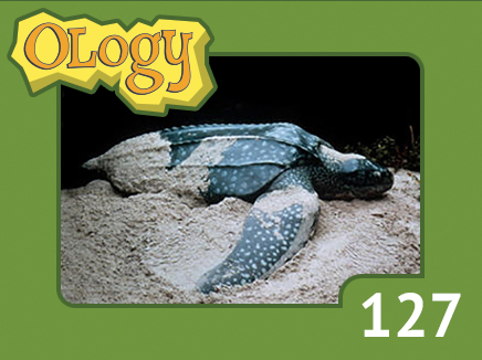 olc_127_leatherback_sea_turtle_listing