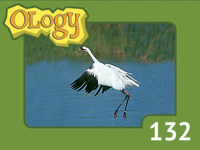 olc_132_whooping_crane_listing